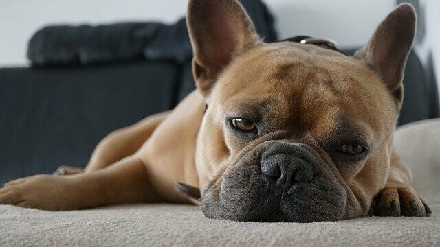 french-bulldog-5342008_640