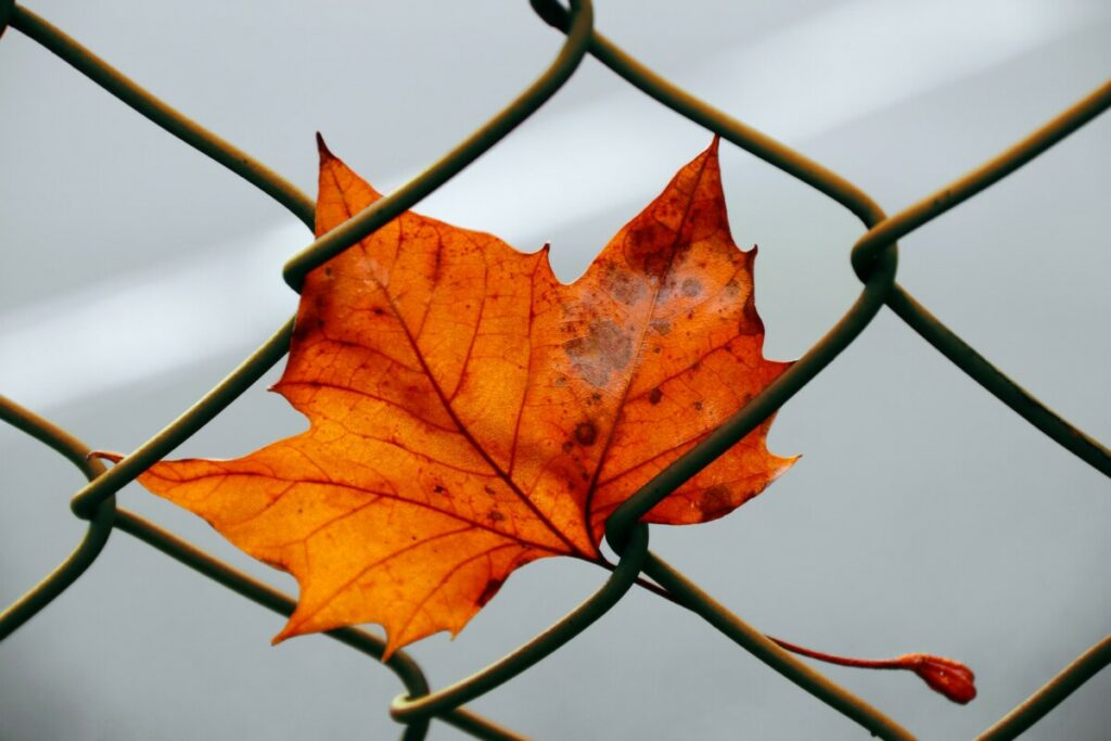 red maple leaf on black wire fence