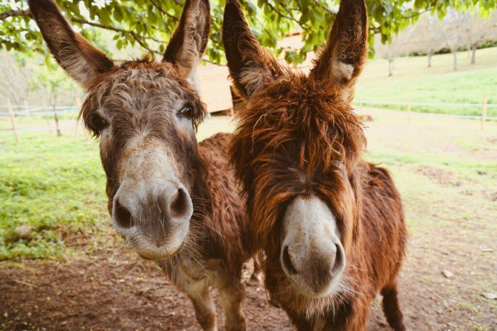 two brown donkeys near trees
